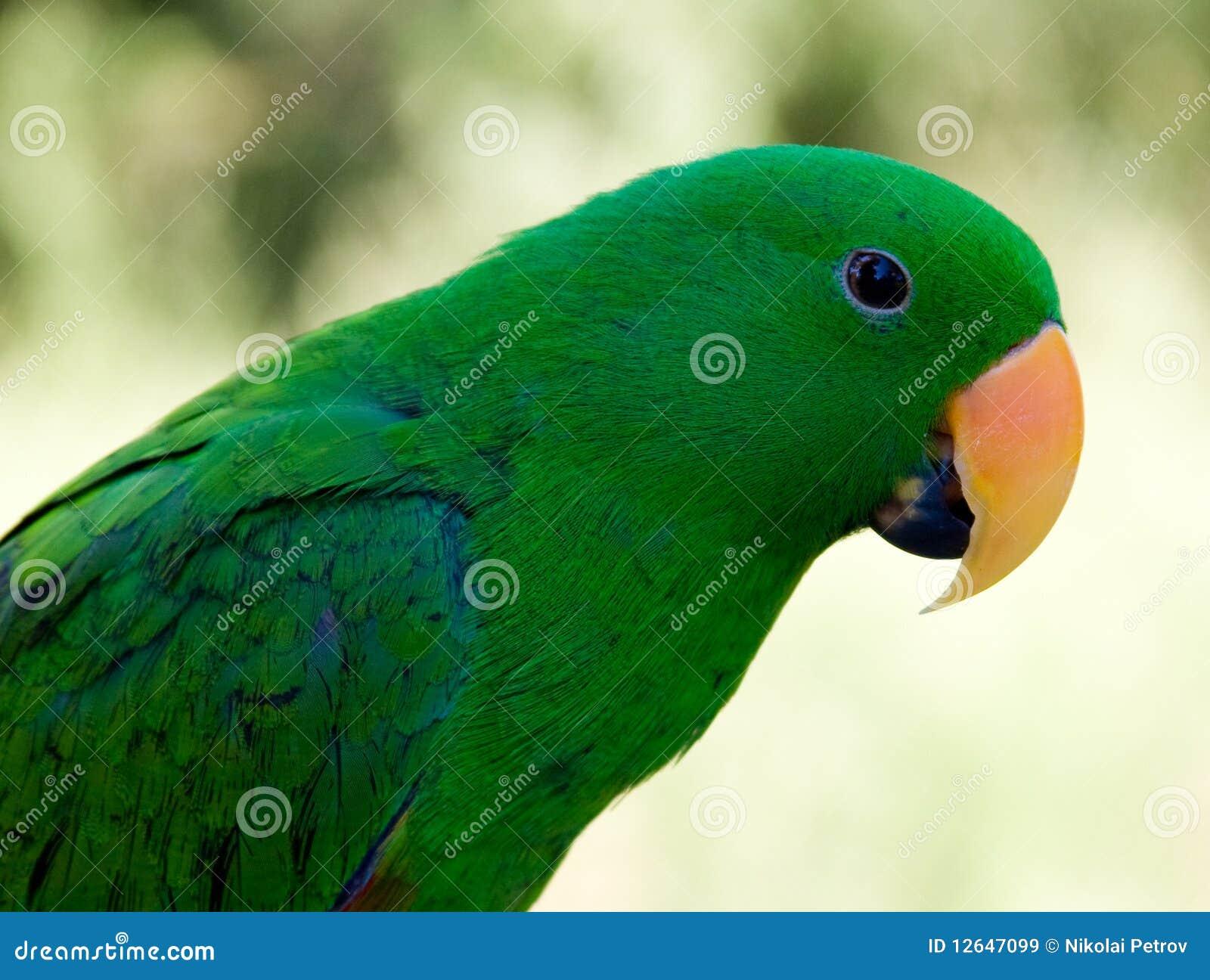 perroquet vert d 39 animal familier avec le nez orange images libres de droits image 12647099. Black Bedroom Furniture Sets. Home Design Ideas