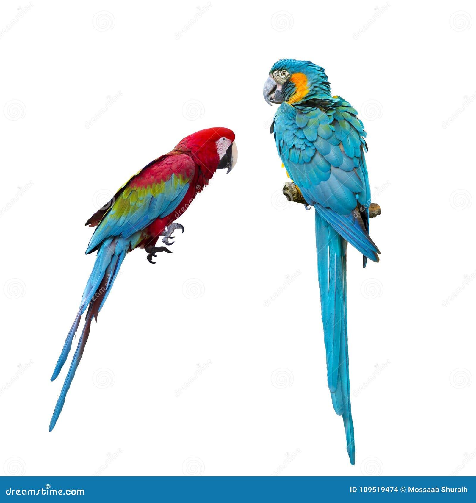 Perroquets bleus et rouges d ara sur le fond blanc