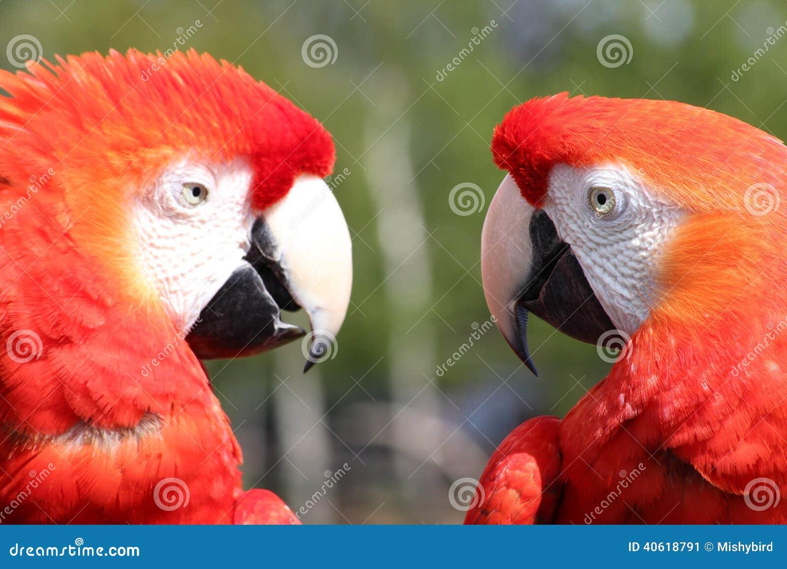 Perroquets d ara