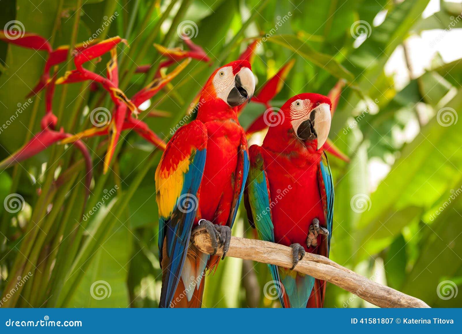 Perroquets d ara d écarlate