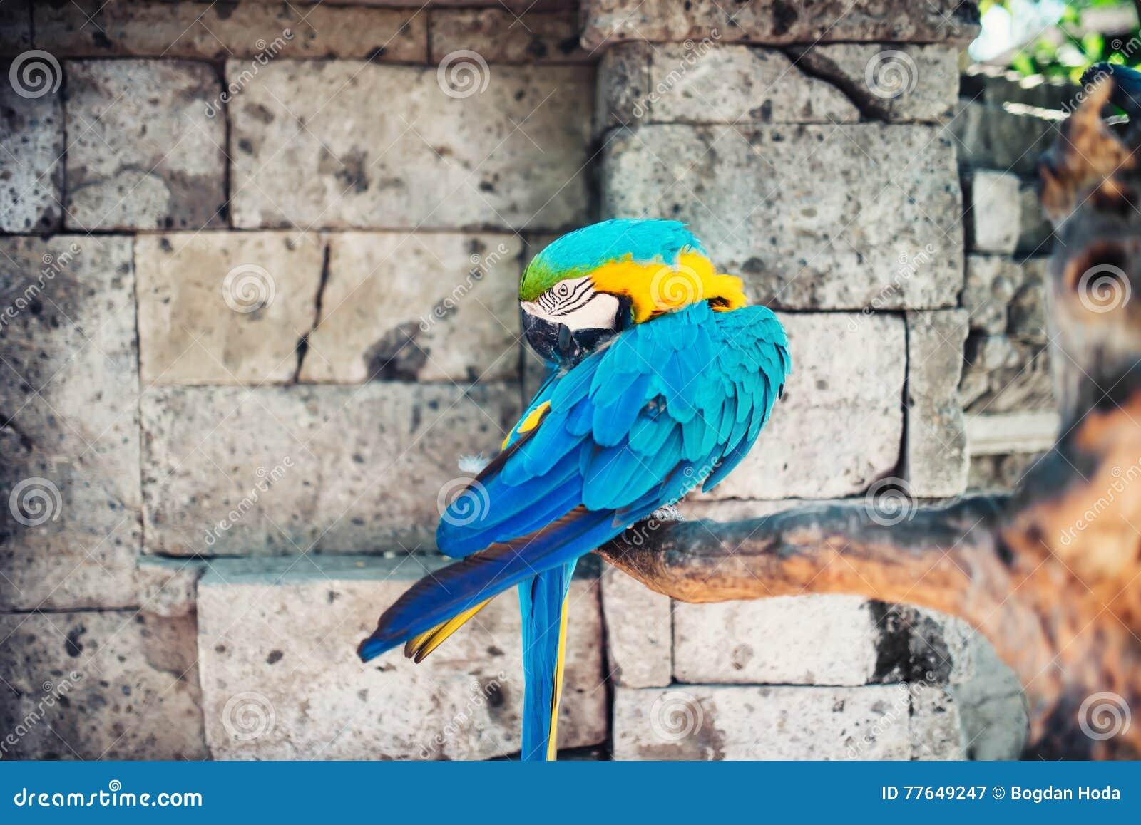 Perroquets d ara dans la jungle tropicale sauvage, pierres à l arrière-plan perroquet d ararauna d arums dans le sauvage