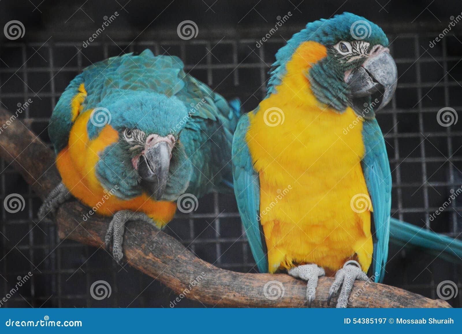 Perroquets d ara dans une cage