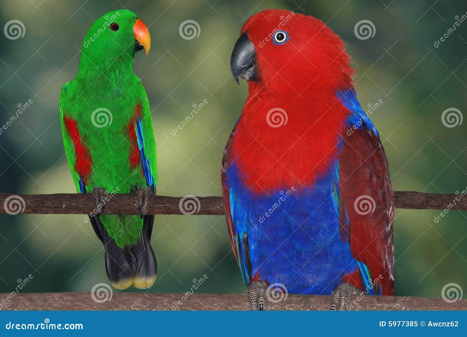 Perroquets d Eclectus