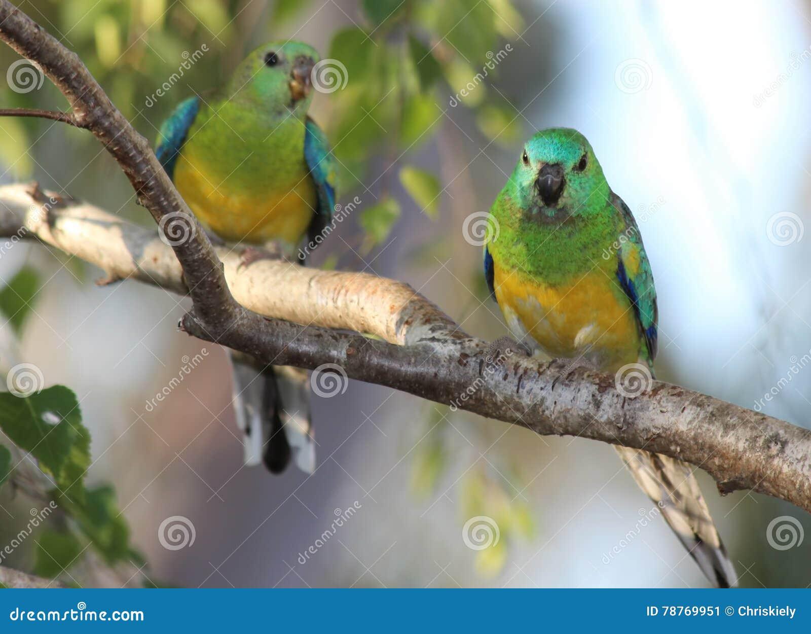 Perroquets d herbe