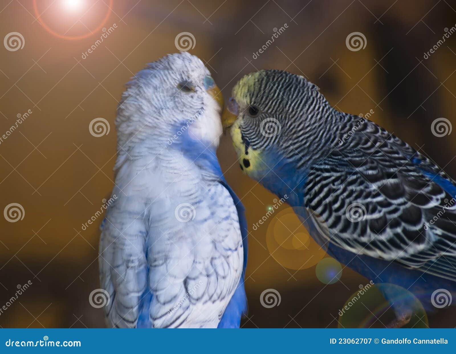 Perroquets dans l amour