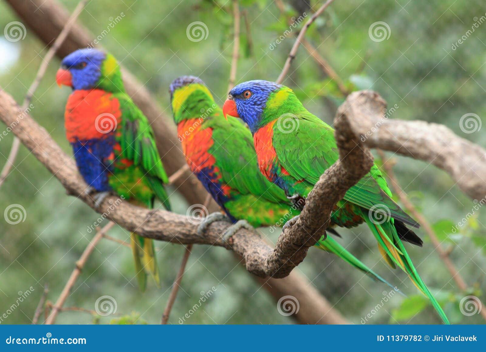 Perroquets de couleur