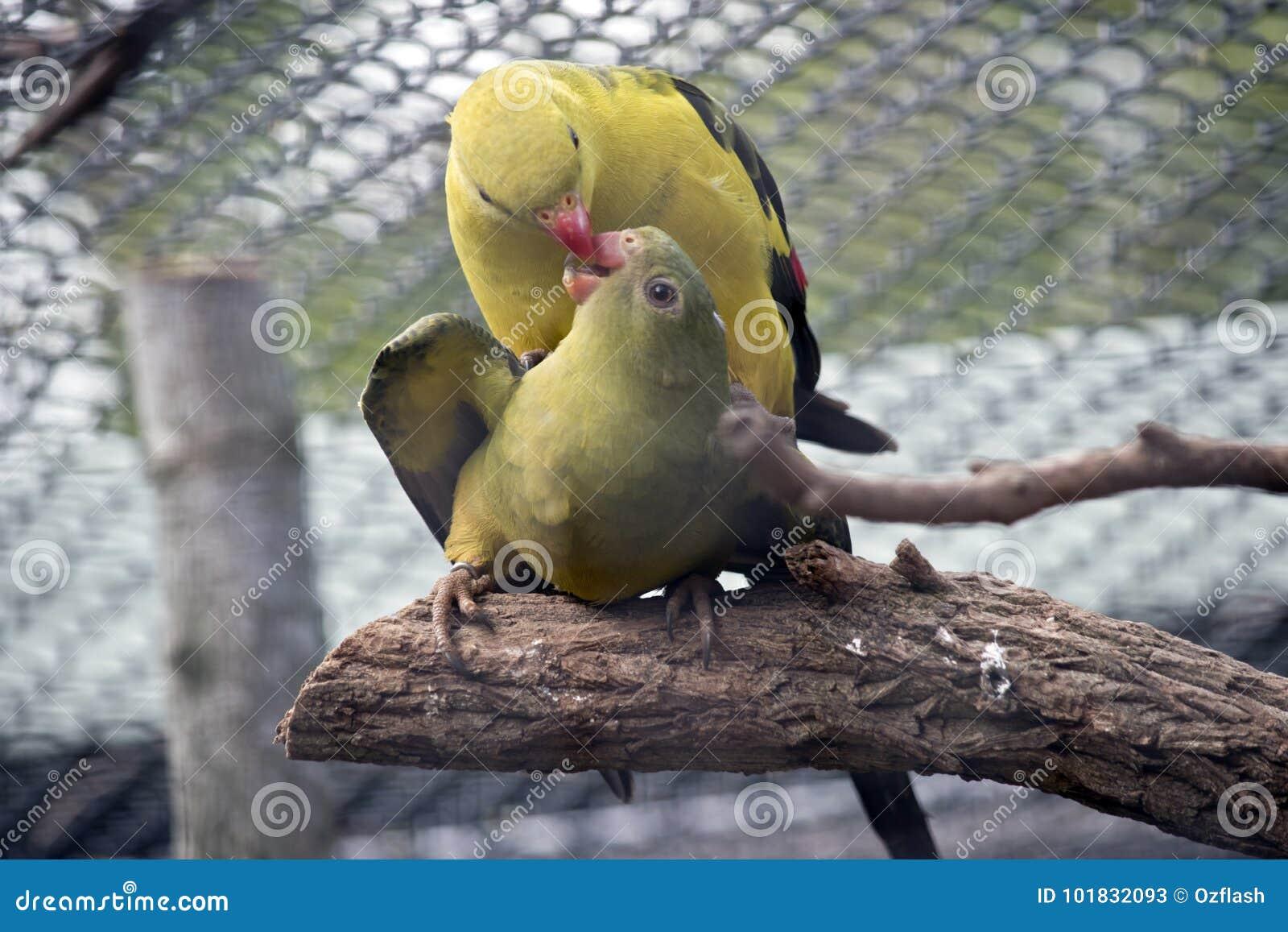 Perroquets de régent