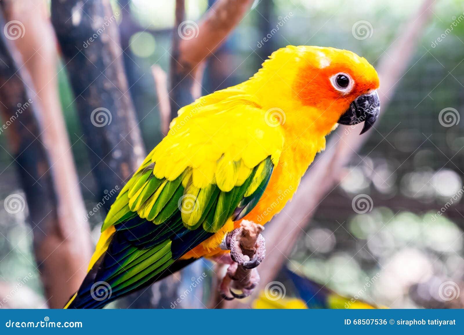 Perroquets de Sun Conure
