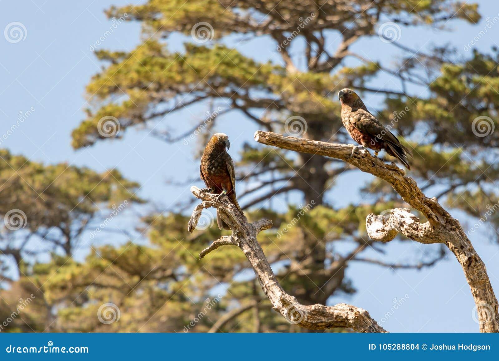 Perroquets du Nouvelle-Zélande Kaka Brown se reposant dans l arbre