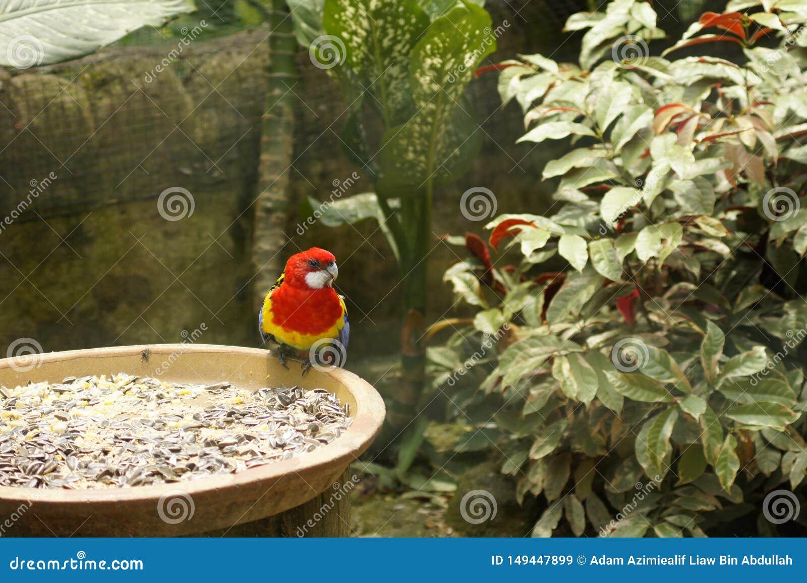Perroquets et x28 ; Psittaciformes& x29 ; ?t? perch? sur des graines de fleur de Sun roulez