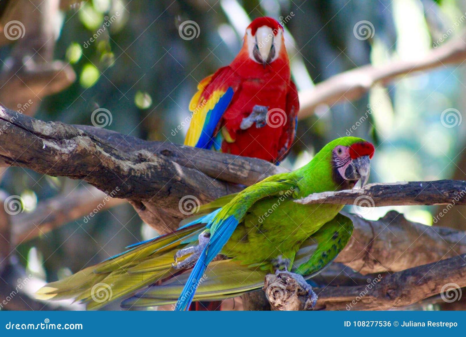 Perroquets exotiques d aras d écarlates d oiseaux