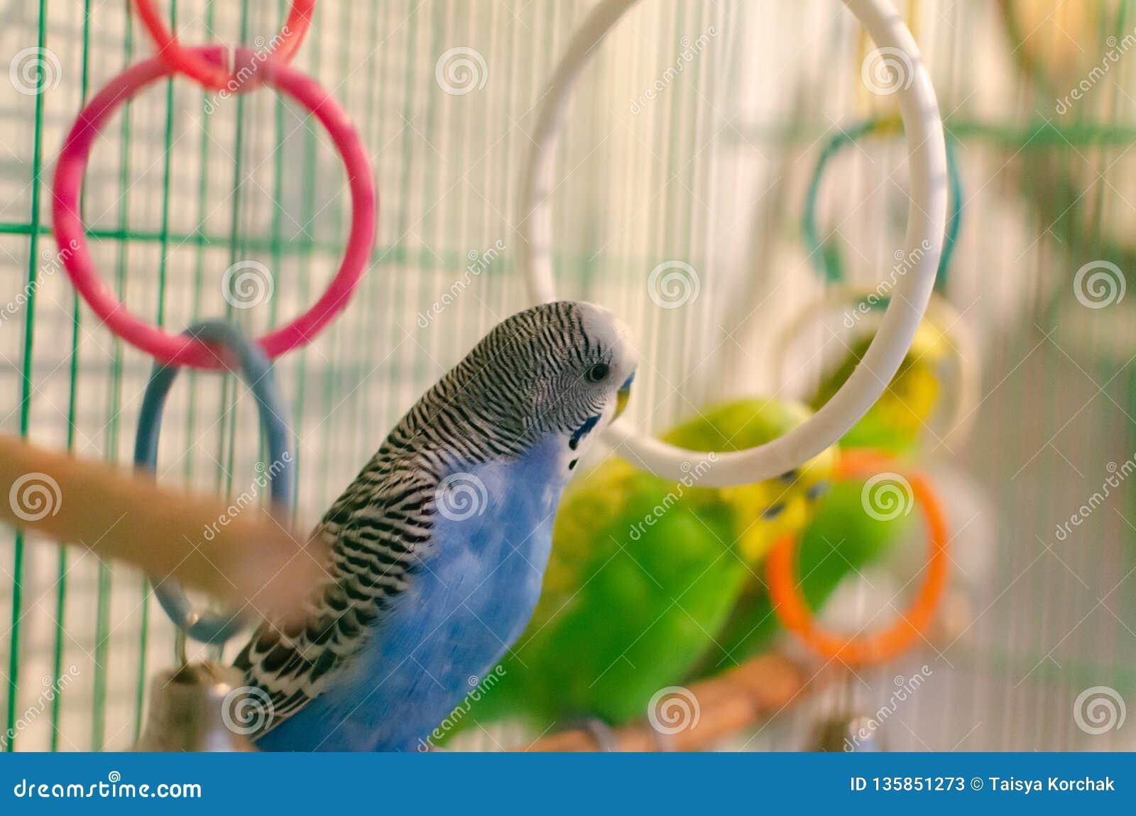 Perroquets onduleux dans une cage