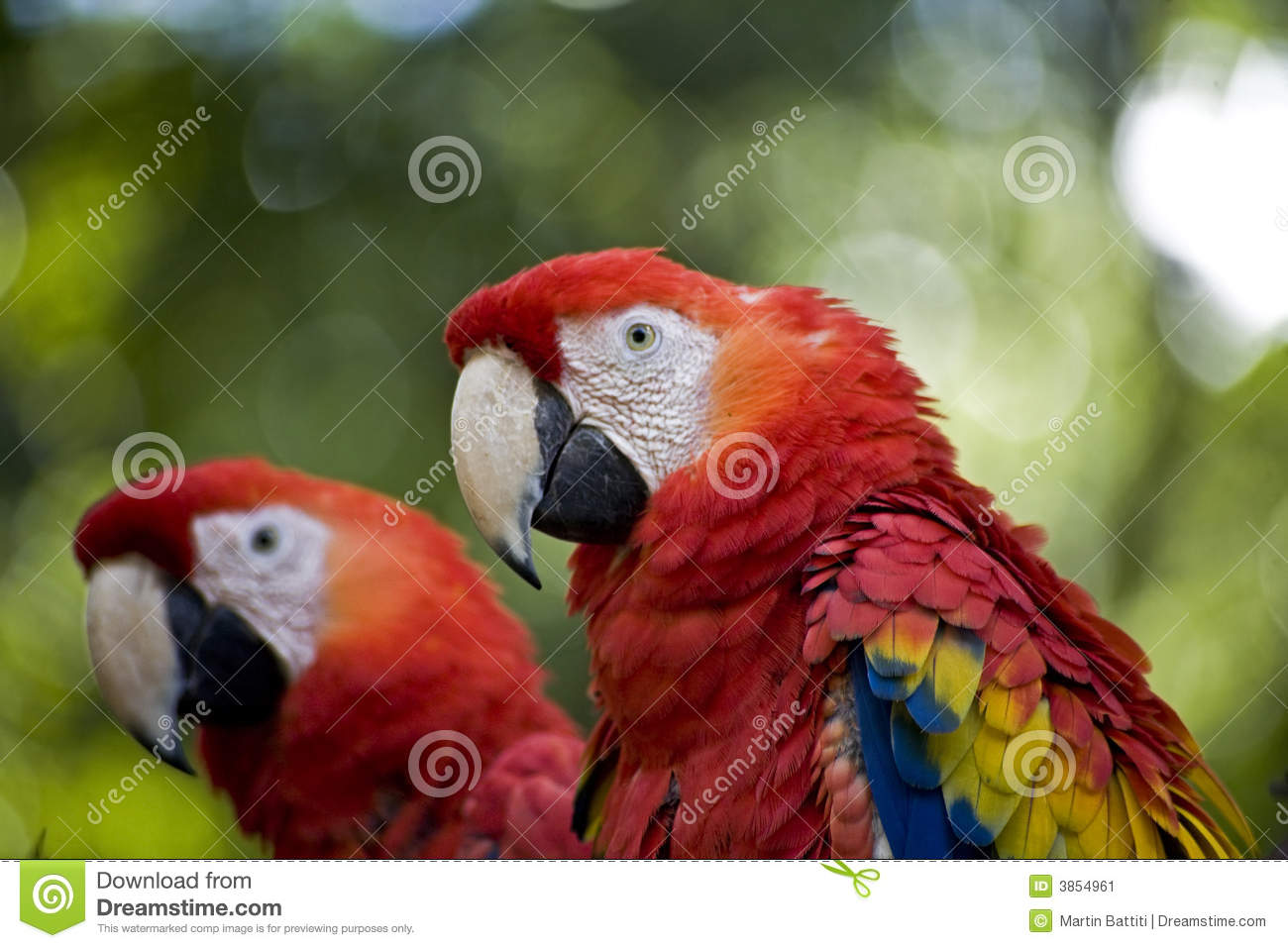Perroquets rouges