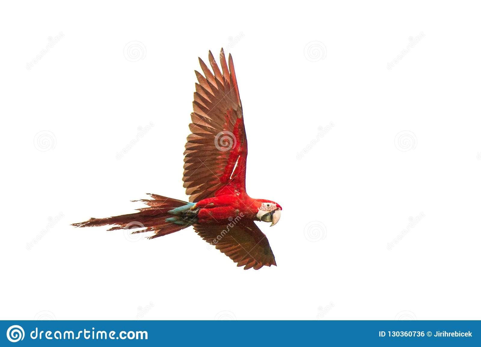 Perroquets rouges en vol Vol d ara, fond blanc, ara d oiseau, rouge et vert d isolement dans la forêt tropicale, Brésil