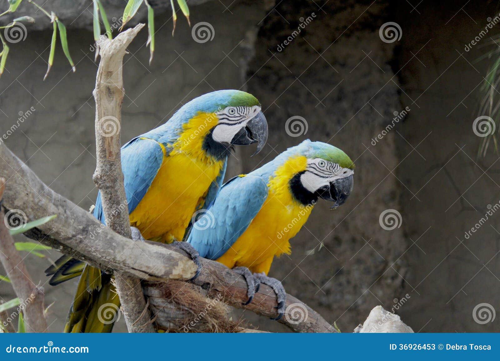 Perroquets sur la perche