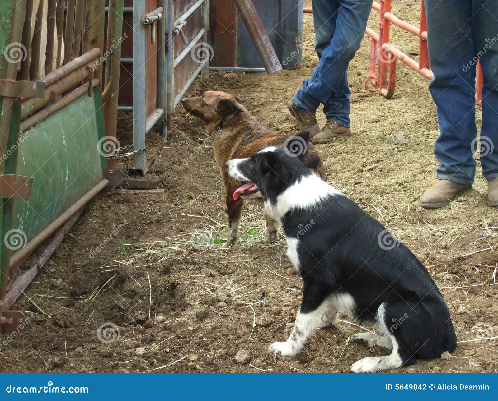 Perros de funcionamiento y vaqueros