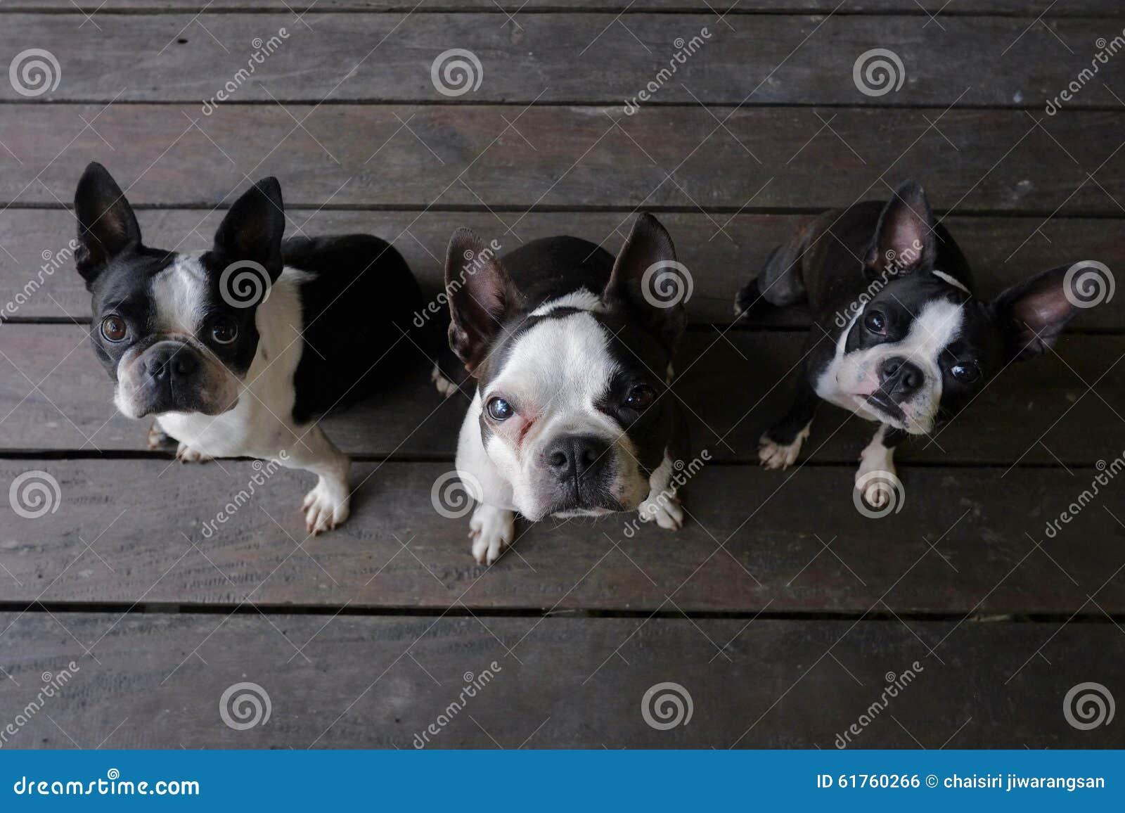 3 perros del terrier de Boston se sientan en el piso de madera y miran la cámara