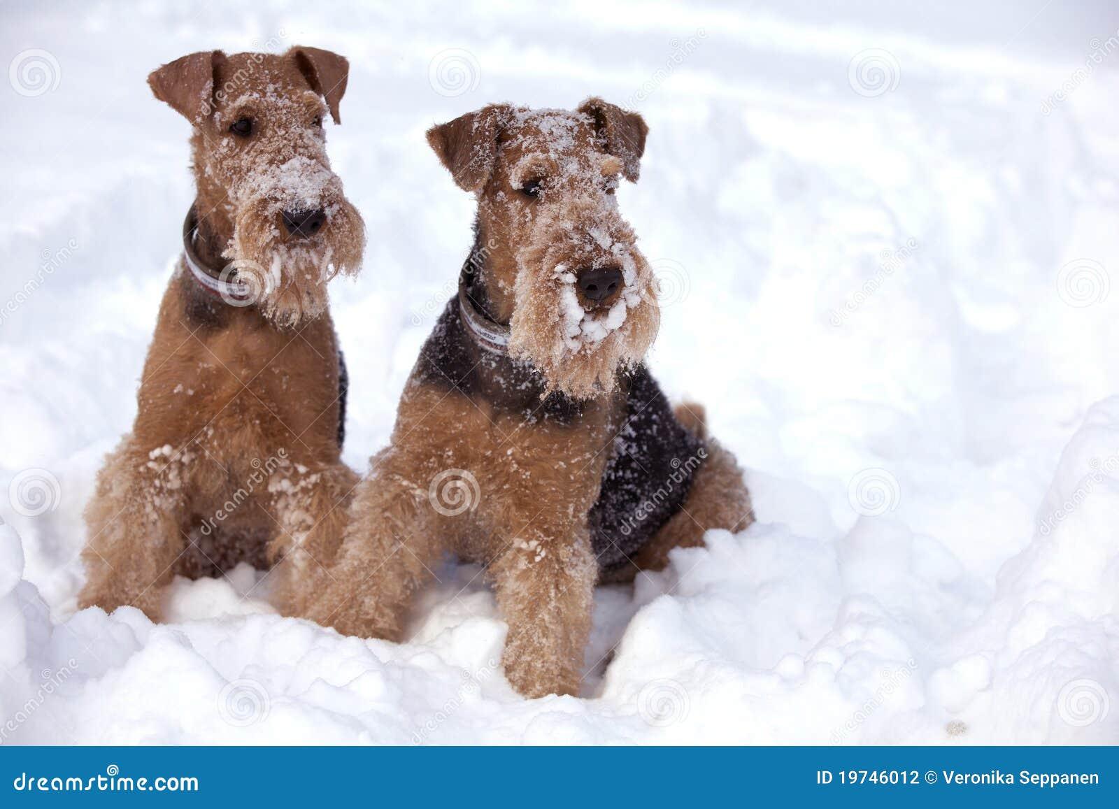 Perros escarchados del terrier del Airedale