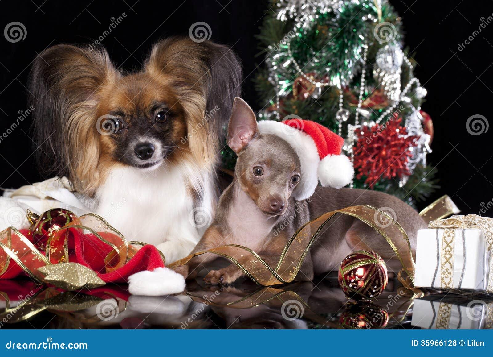 Perros Papillon y Toy Terrier