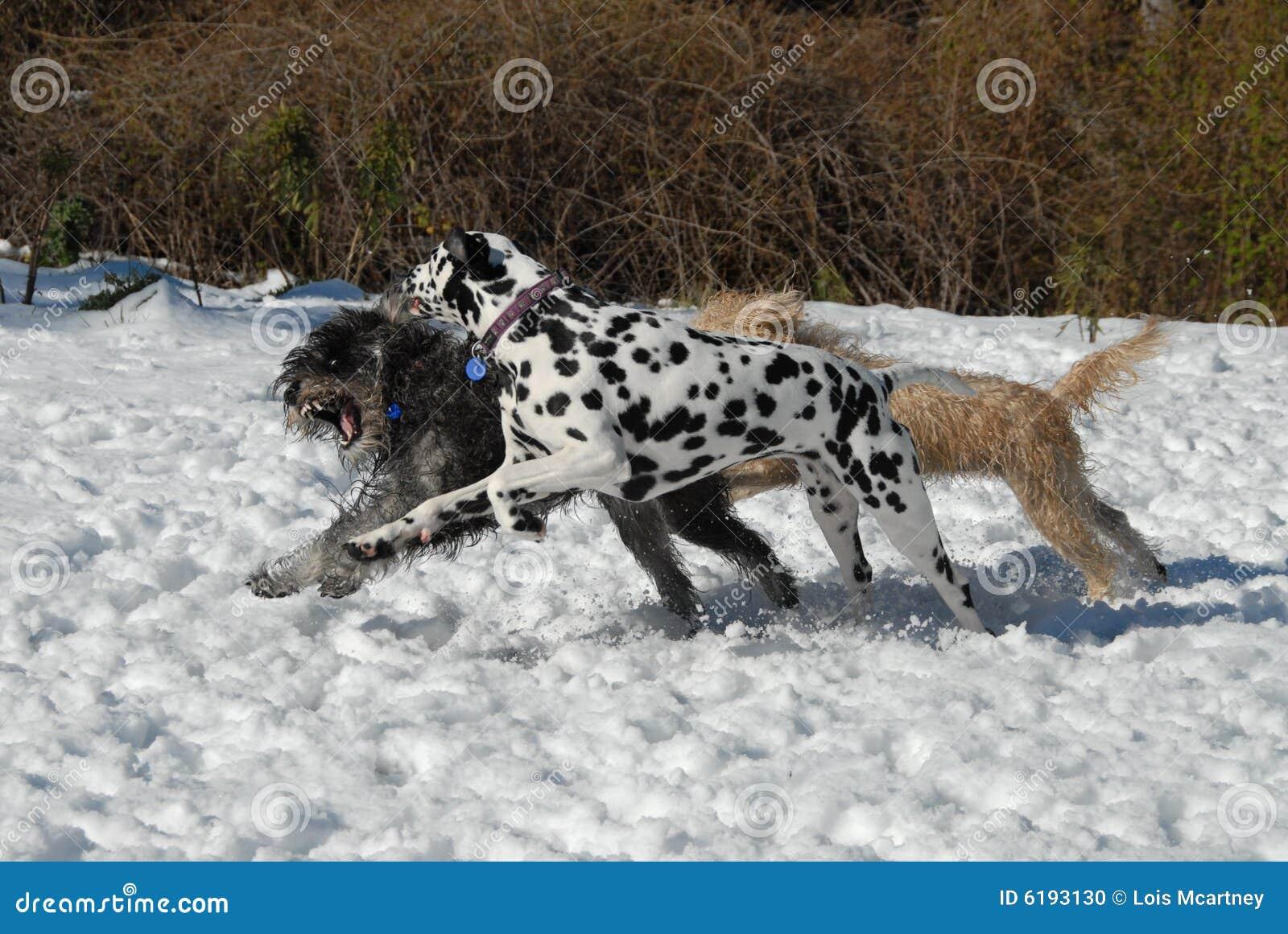 Perros que juegan la persecución en nieve