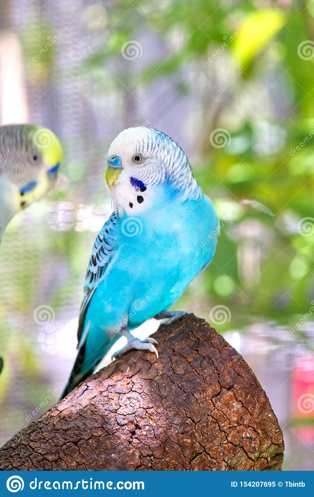 Perruche australienne bleue, perruche