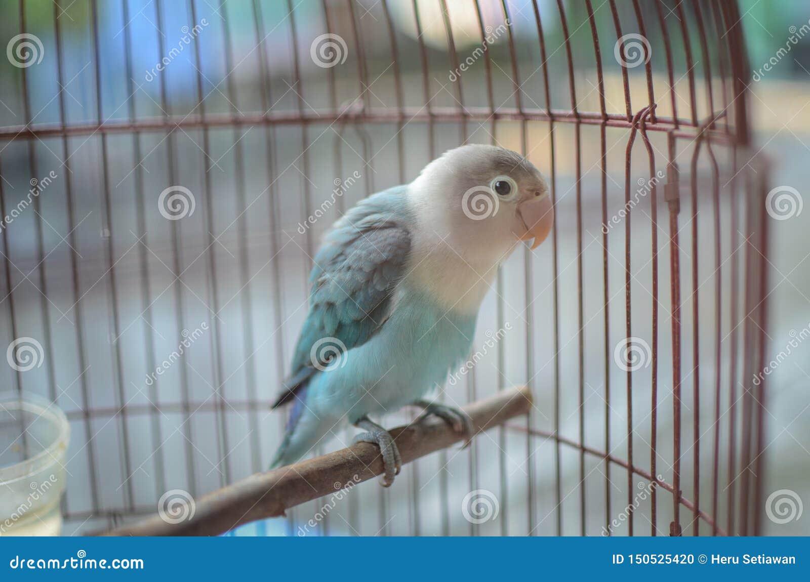 Perruche dans la cage