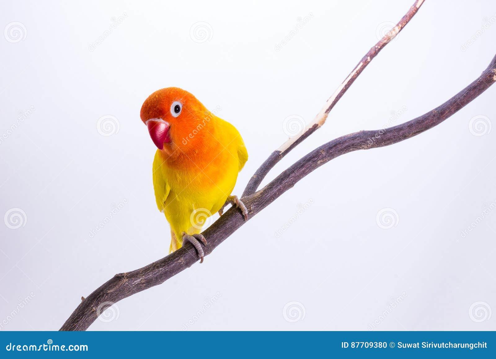Perruche jaune sur la branche
