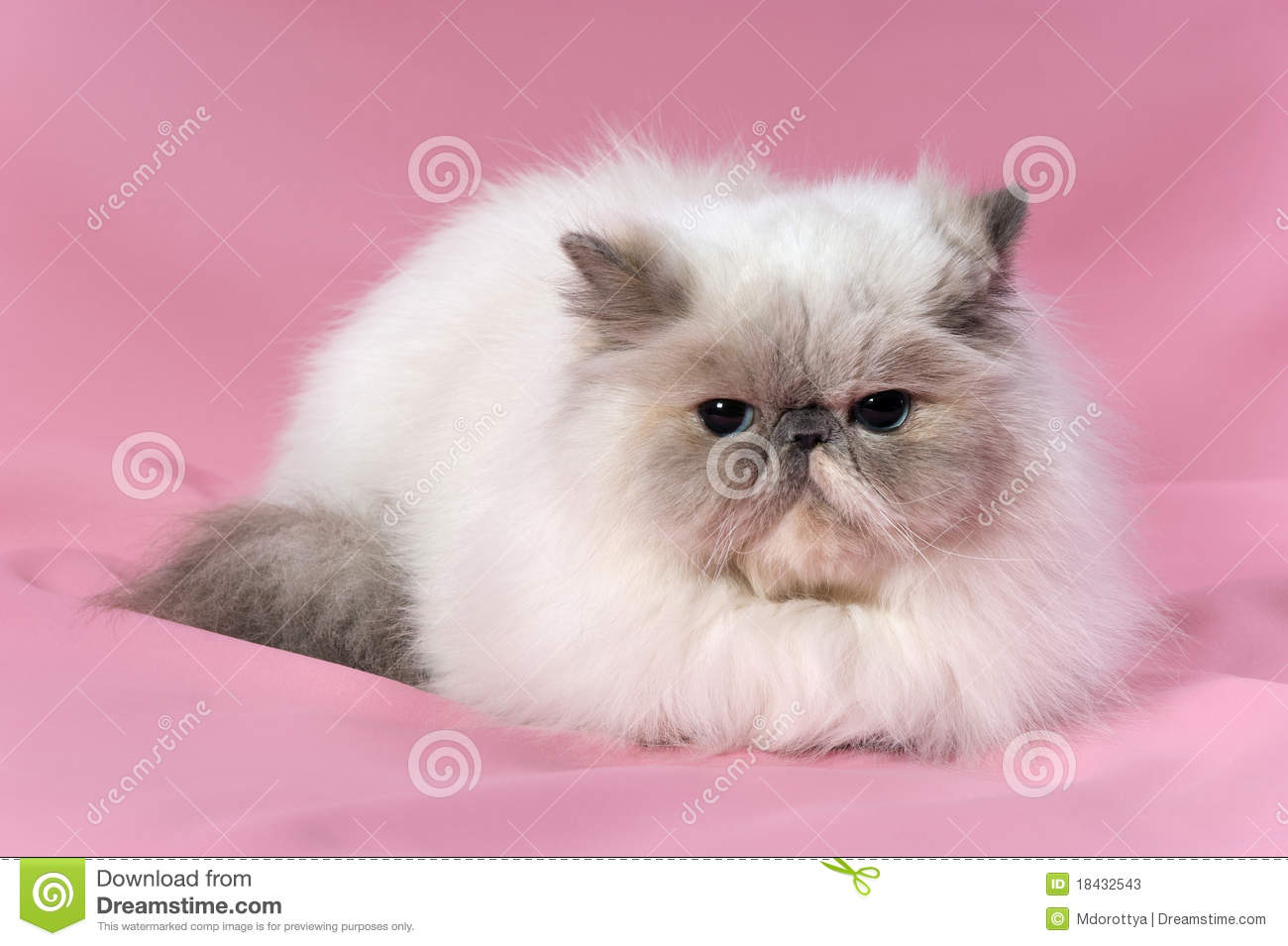 Persian Blue Tortie Point Cat Stock Photos - Image: 18432543