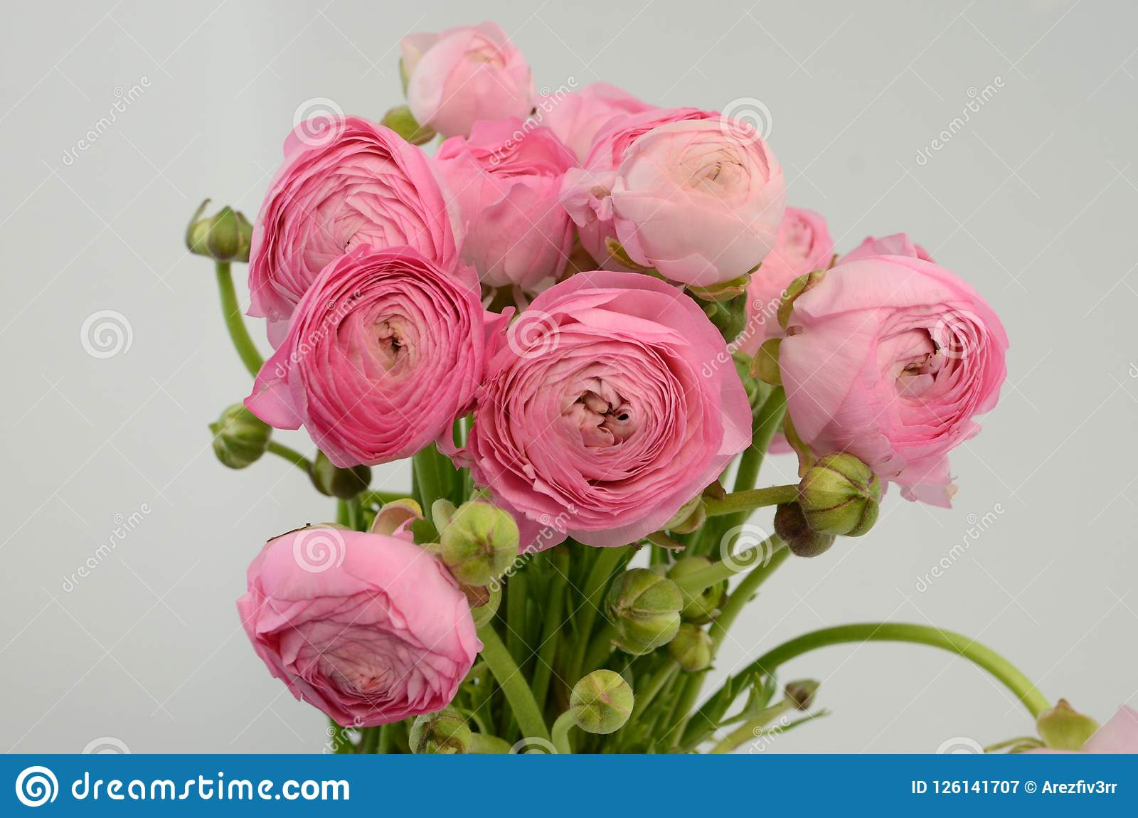Persian buttercup. Bunch pale pink ranunculus flowers light background