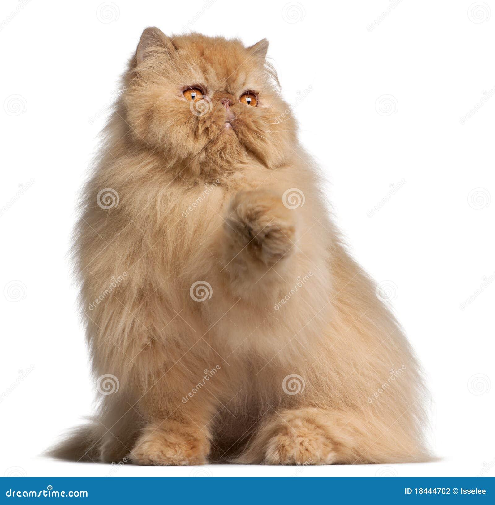 snowshoe cat temperament