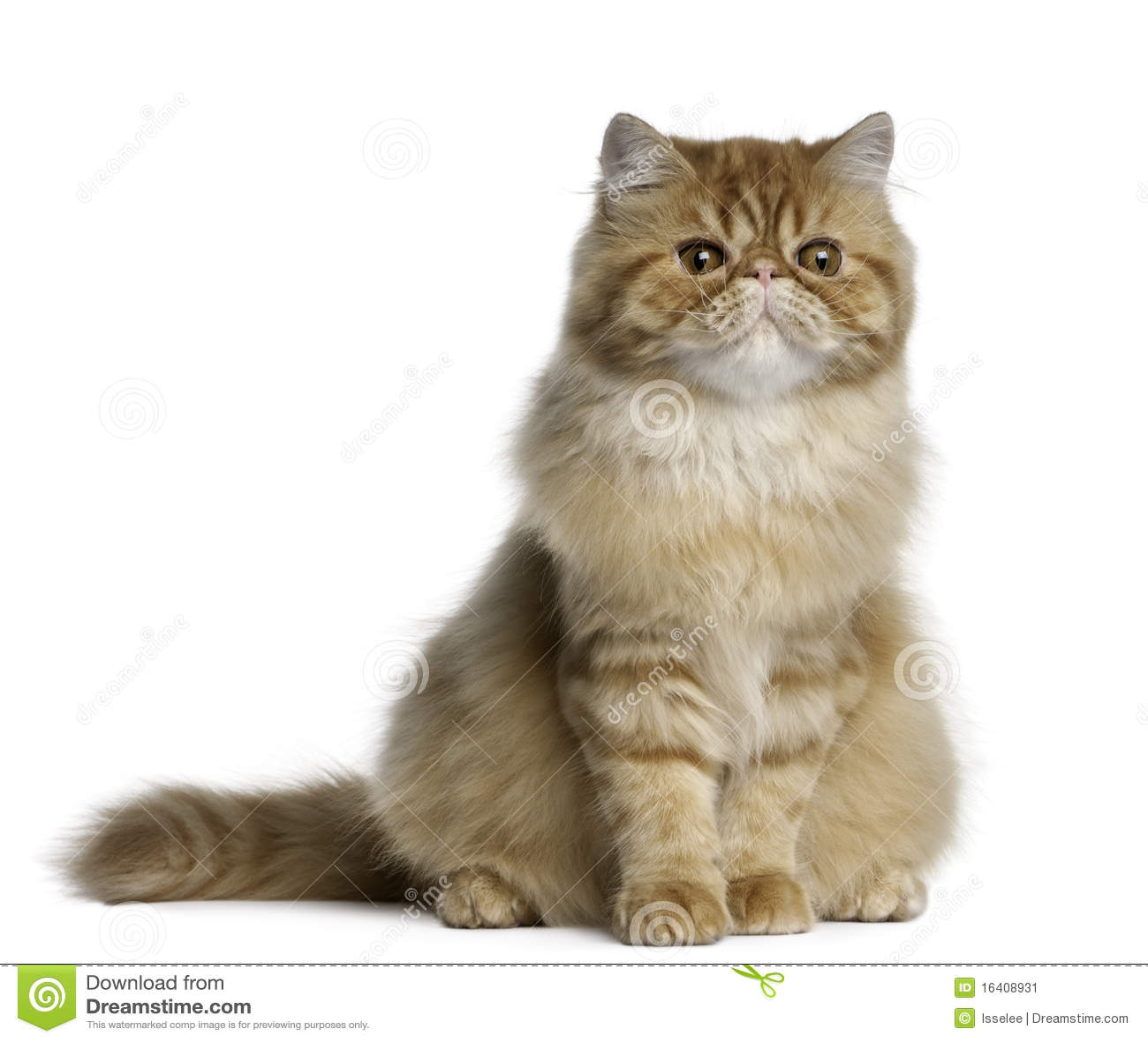 Persian cat 6 months