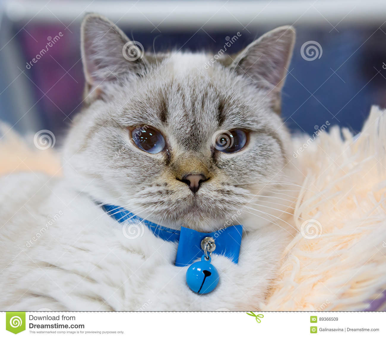 Persian cat blue color stock image. Image of animal ...