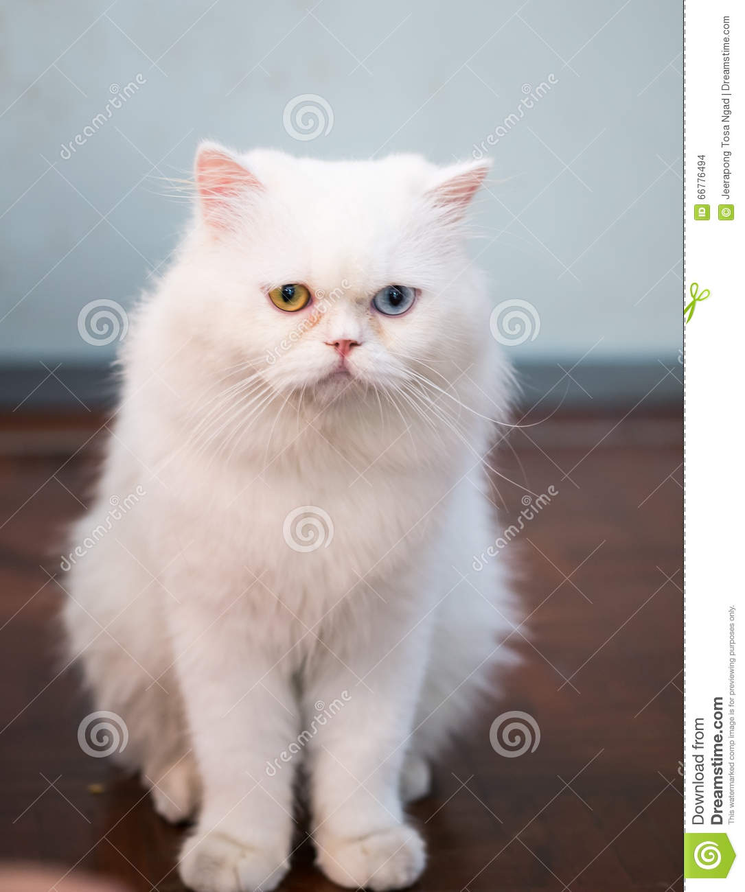 Persian Cat Two Color Eyes Stock Image