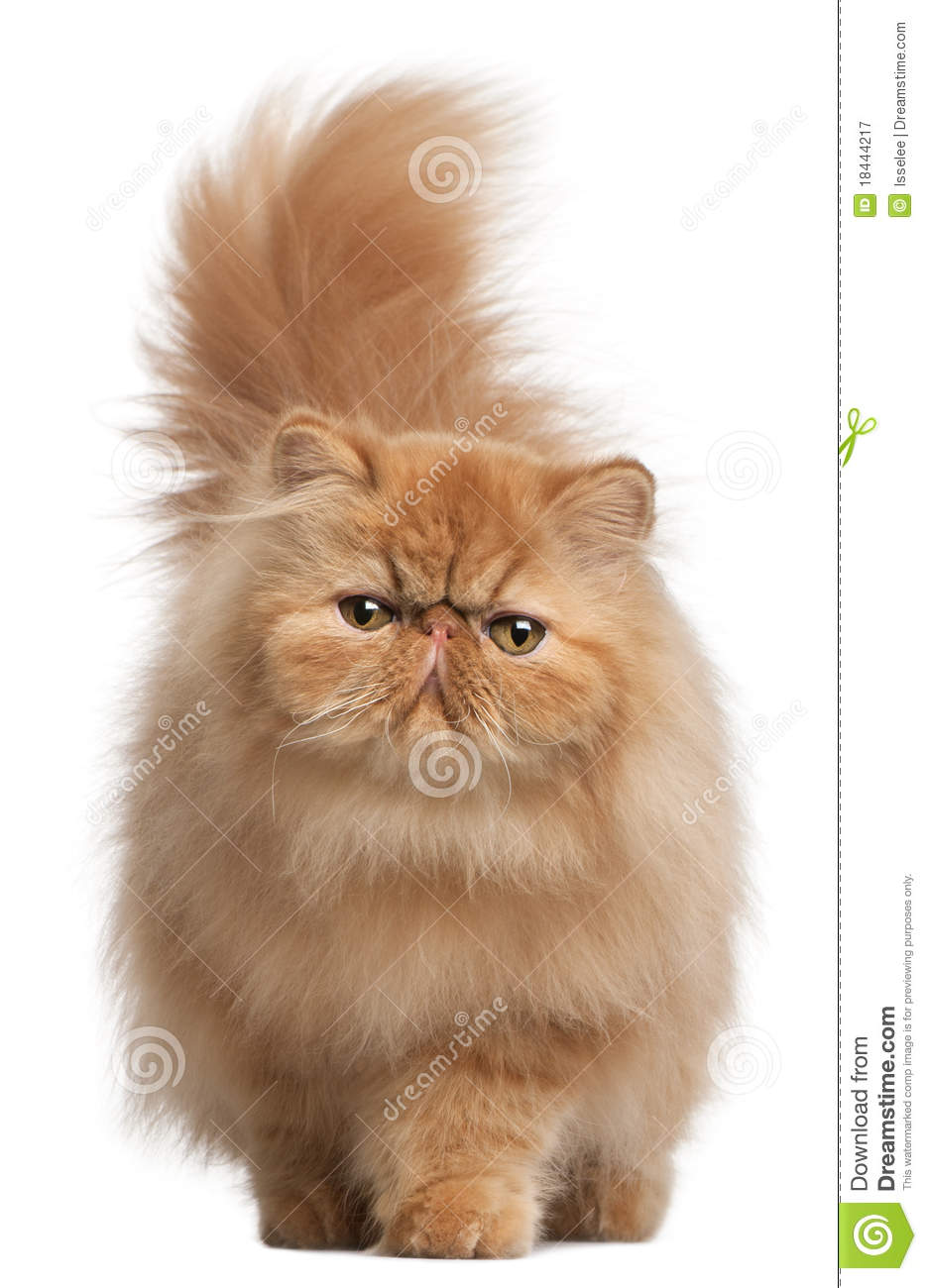 6 Month Old Kitten Weight http://www.dreamstime.com/royalty-free-stock-photography-persian-kitten-6-months-old-image18444217