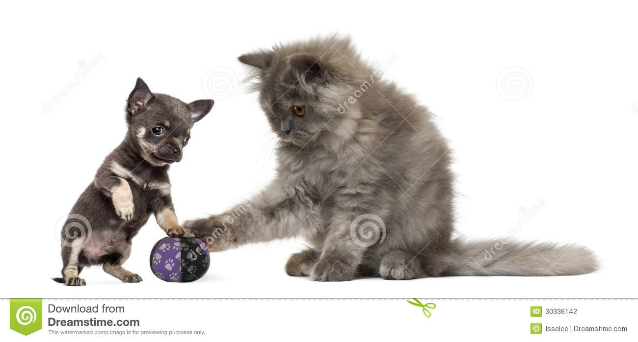 Persian Kitten And Chihuahua Puppy Playing With A Ball Stock Photo