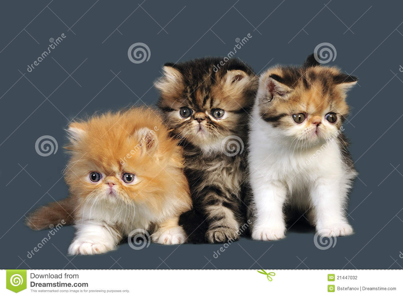Persian Kittens Stock Photography - Image: 21447032
