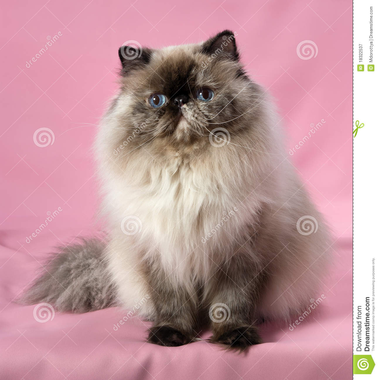 Persian Seal Tortie Colorpoint Cat Royalty Free Stock Photography XTwmGDB1