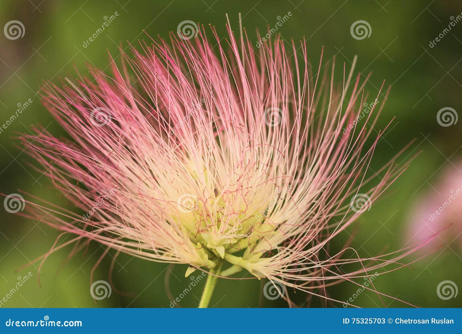 Persian Silk Tree Flower Stock Image Image Of Tree Silk 75325703