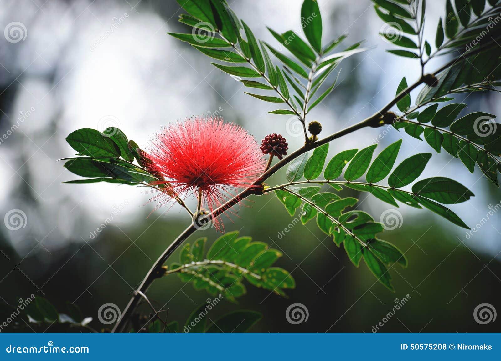 Persian Silk Tree Flower Stock Photo Image Of Decoration 50575208
