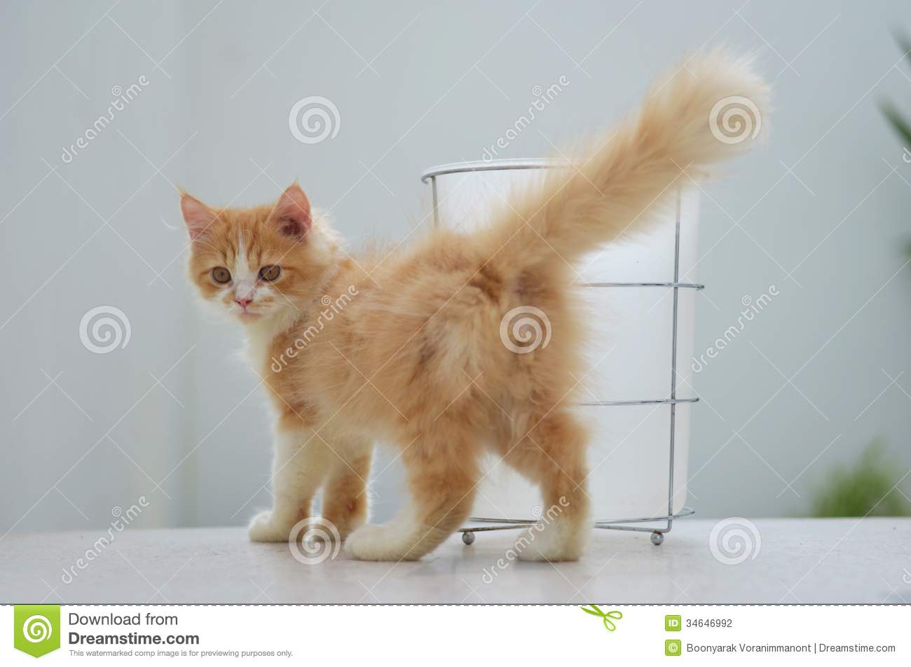 Persian tabby cat stock photo Image of tail portrait