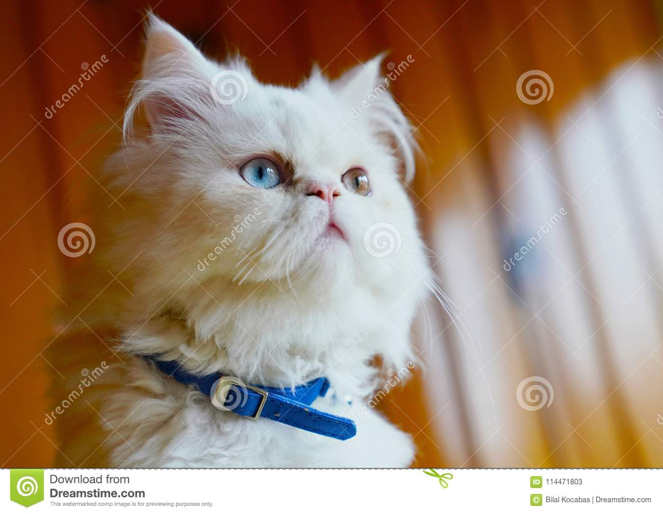 Persian And Turkish Van Cats Cross Breed, White Color And ...