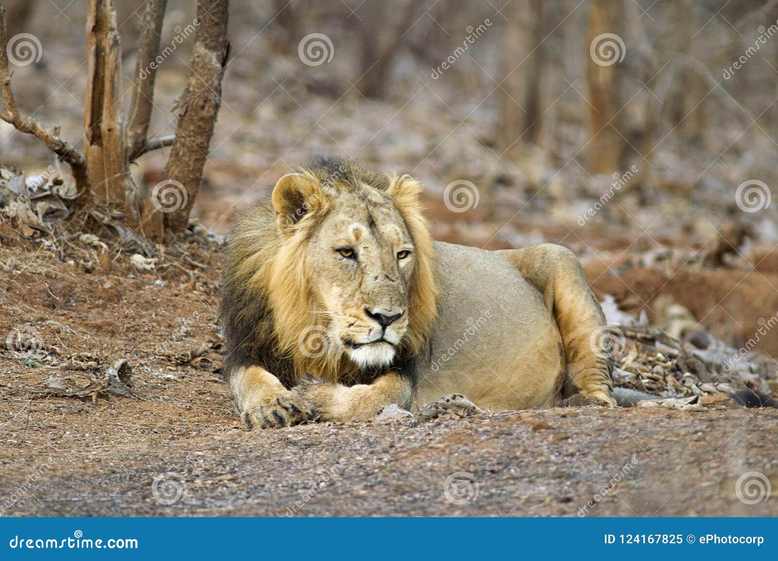 Persica de leo asiático del león o del Panthera, descansando en el bosque en el parque nacional Gujarat de Gir, la India