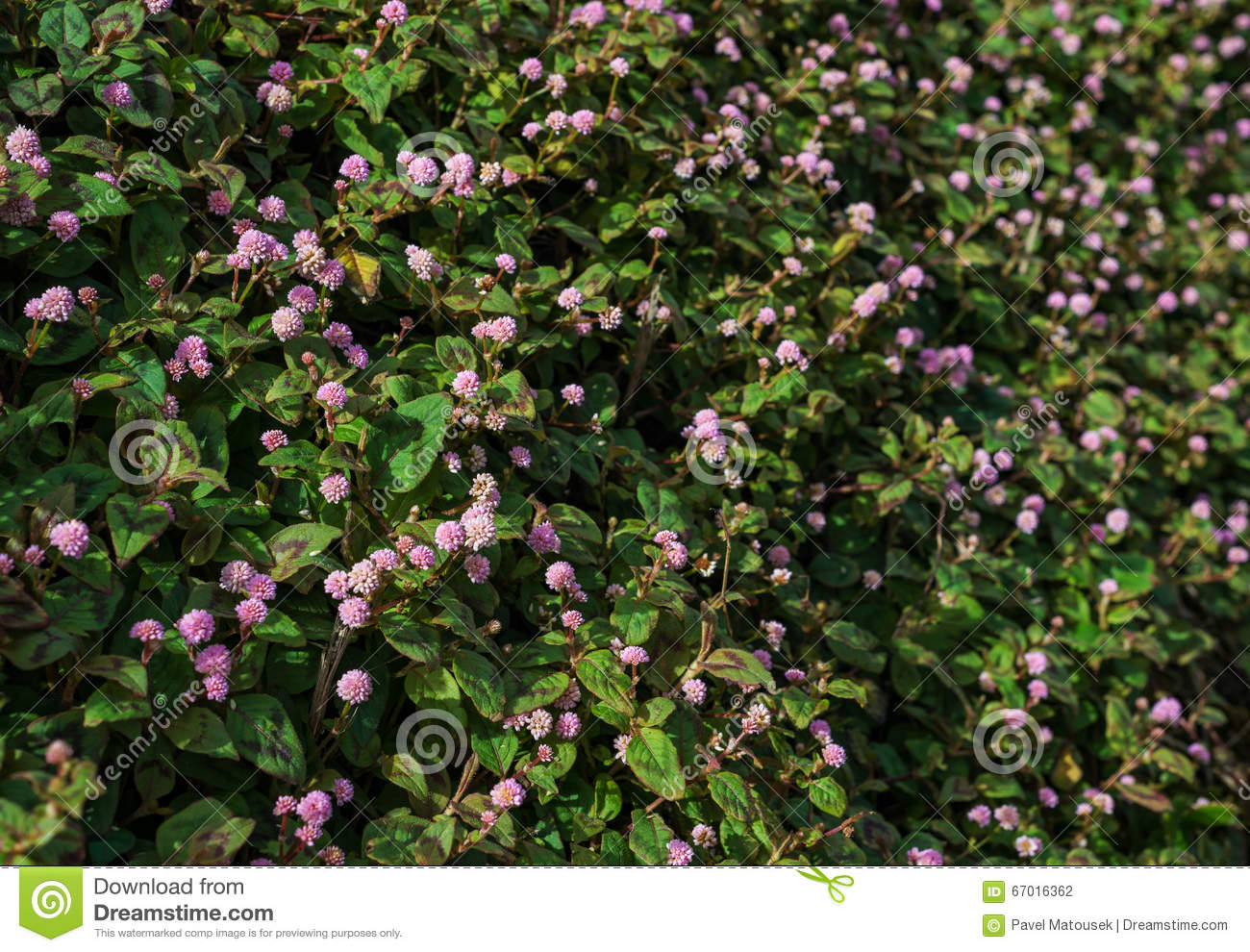Persicaria Capitata Pink Knot Weed Wild Flower Stock Photo Image