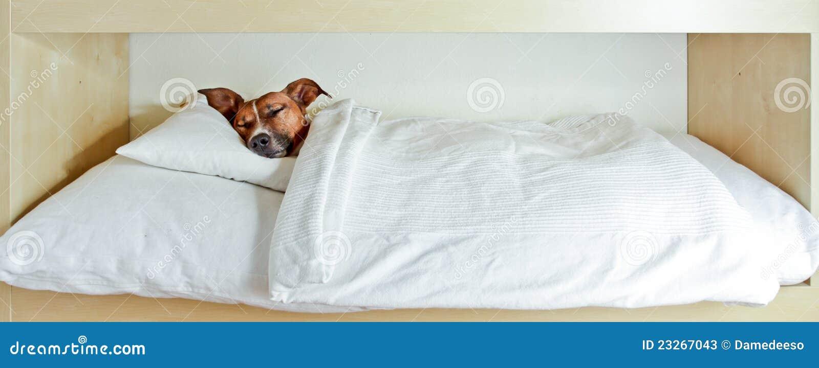 Persiga dormido