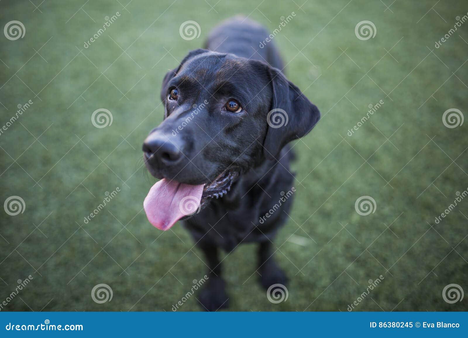 Persiga o retrato, Labrador preto no fundo do gramado