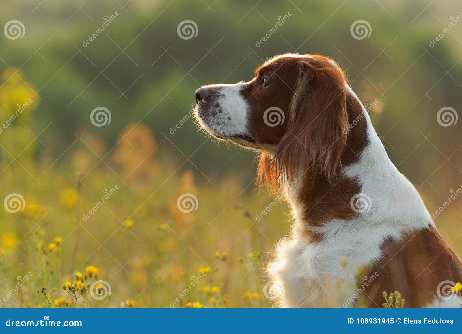 Persiga o retrato, o setter vermelho e branco irlandês no backgr dourado do por do sol