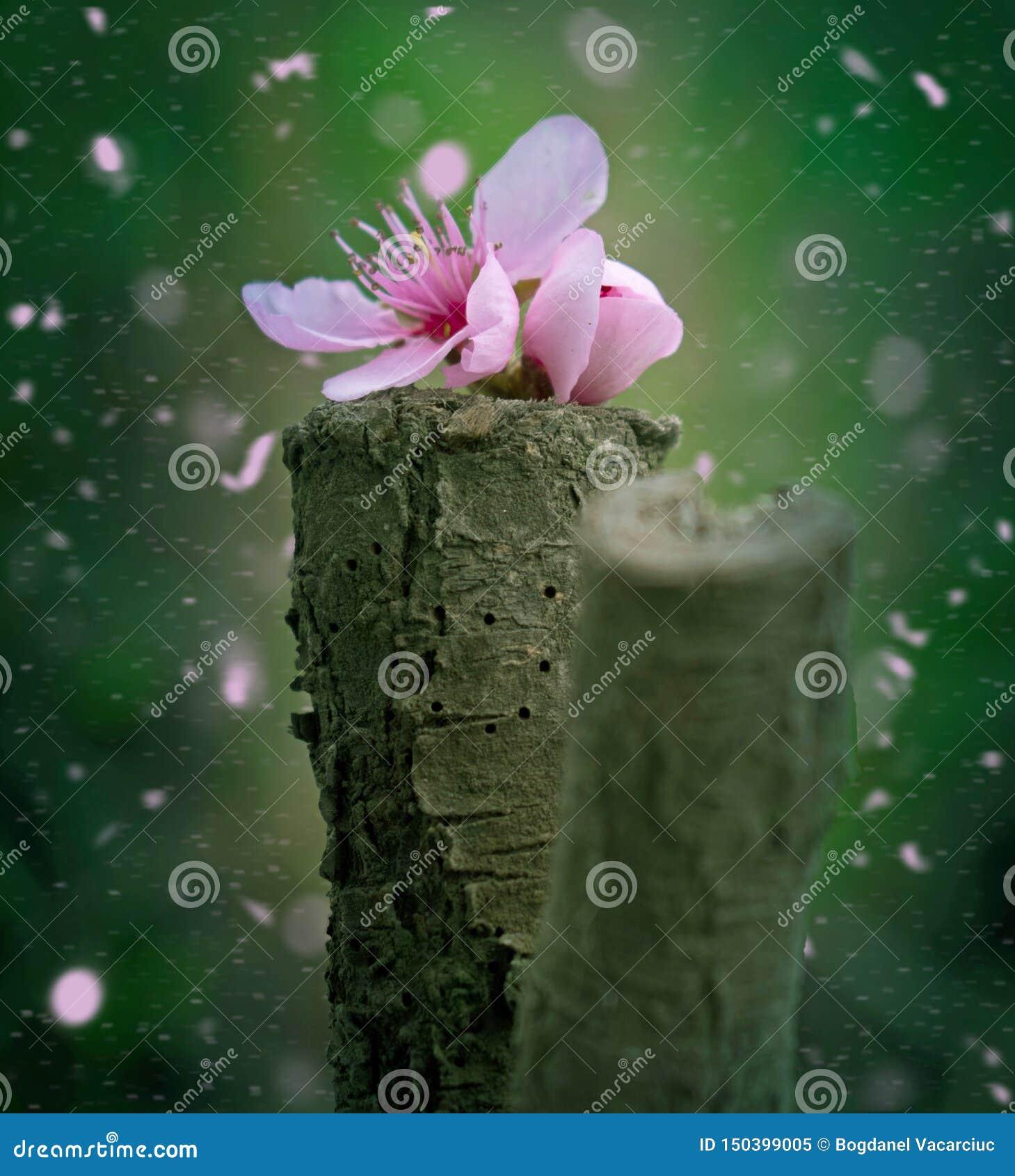 Persikablomningblomma som är stupad på ett stycke av trä