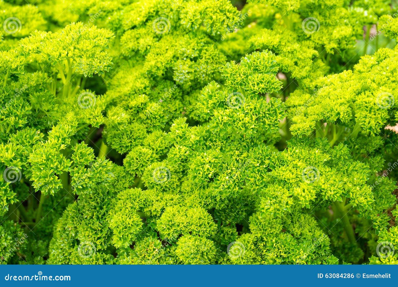 Download Persil Bouclé Frais Dans Les Arrangements Naturels Photo stock - Image du nourritures, horticulture: 63084286