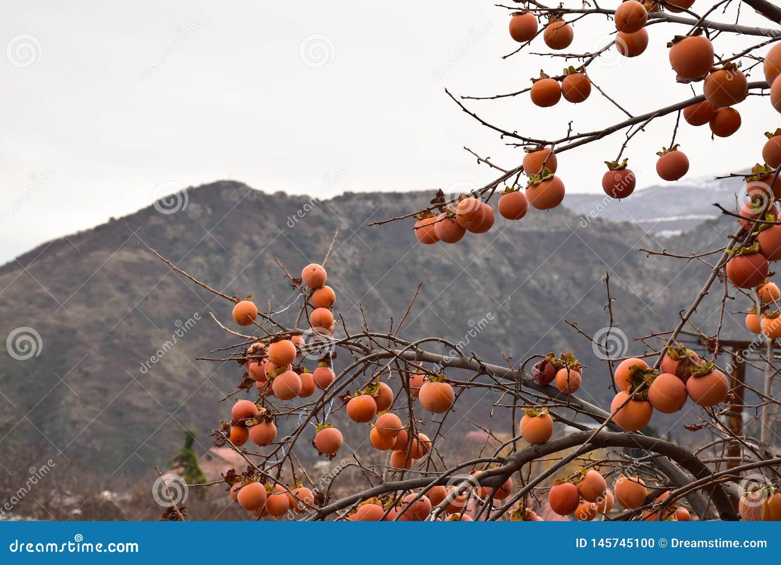 Persimmon drzewo w górach