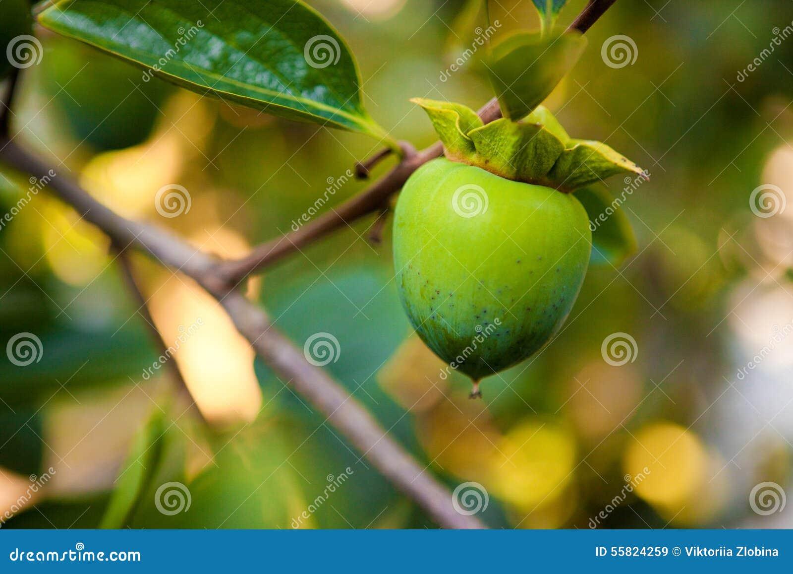 persimmon fruit summer fruits
